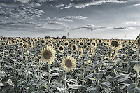 Ok here is another image of the sunflower fields with a hint of color.  This technique brings out great texture and give it a unique look.