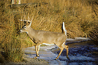 White-tailed deer (Odocoileus virginianus) buck crossing stream in November.
