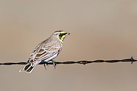 Horned Lark, Interior West Male