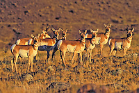 Pronghorn (Antilocapra americana) herd in prairie grassland, autumn, Yellowstone National Park, Montana, USA.
