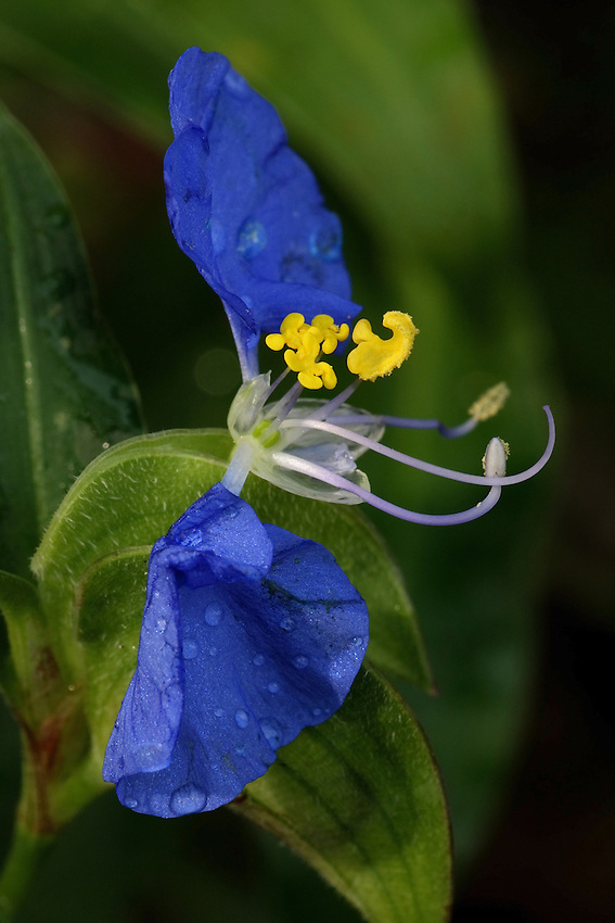 Virginia Dayflower - Comelina virginica is an annual/perennial growing to 1.2 m (4ft). It's in flower from Jun to August, and the seeds ripen from Aug to October (Spiderwort Family). Synonyms: Commelina deficiens, Commelina longifolia.