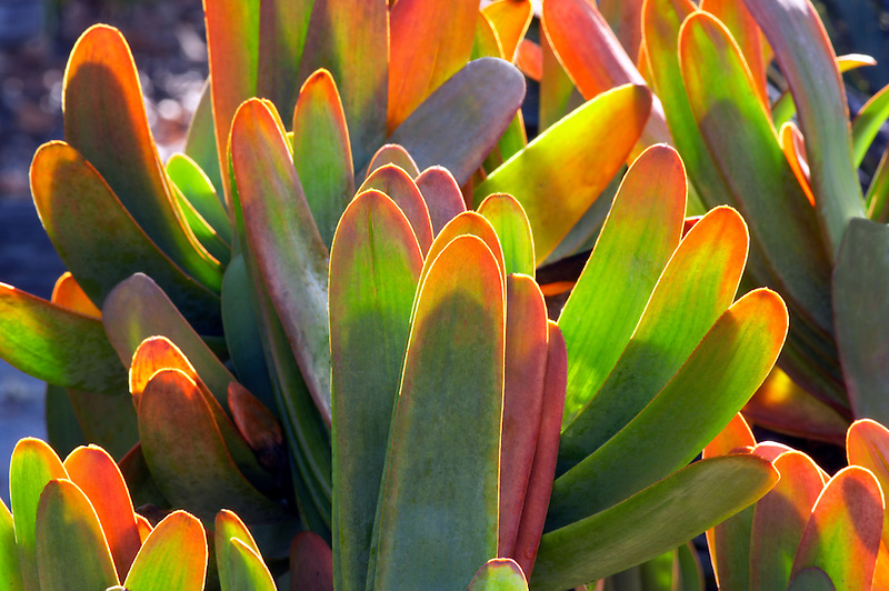 Fan Aloe, Aloe plicatilis. Mendoceno Coast Botanical Gardens. California