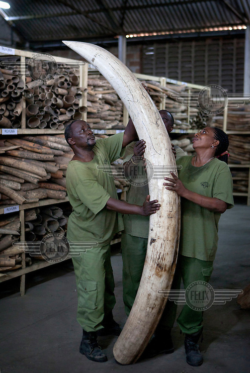 Workers at Tanzania's ivory stockpile warehouse in Dar Es Salaam move the biggest tusk they hold, taken from an elephant at least 60 years old.