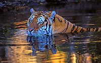 BENGAL TIGER swimming at sunset. (Panthera tigris).