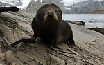 Close-up of an Antarctic fur seal pup sitting on a rock in Gold Harbour, South Georgia.