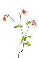 30099-00311 Eastern Red Columbine (Aquilegia canadensis) on white background, Marion Co, IL