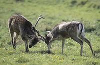 Damhirsch, Dam-Hirsch, Damwild, Männchen, Hirsch, zwei Rivalen beim Kapmpt mit den Geweihen, Brunft, Dam-Wild, Cervus dama, Dama dama, fallow deer