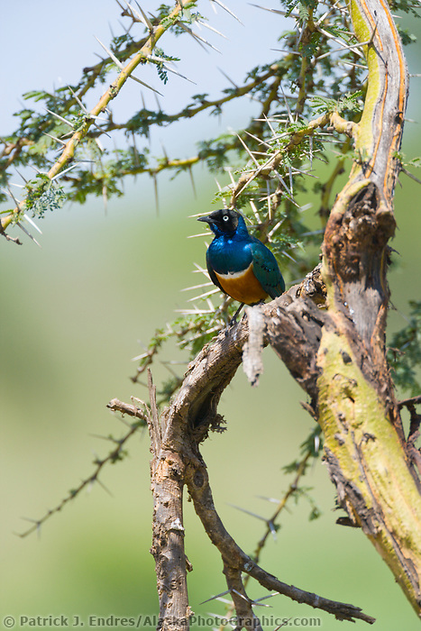 Starling, Serengeti National Park, Tanzania, East Africa