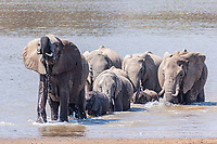 africa, Zambia, South Luangwa National Park, elphant group cross the Luwanga river
