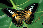 Clipper butterfly Parthenos sylvia open wings, brown and orange pattern colours.SE Asia....