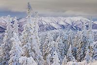 Snow covered Spruce trees, Arctic Alaska