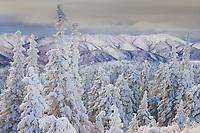 Snow covered Spruce trees, Arctic Alaska