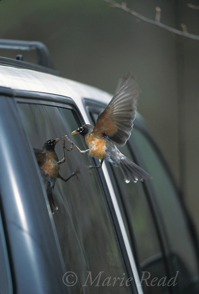 American Robin (Turdus migratorius) female attacking her reflection in a vehicle window, New York, USA<br /> Slide # B136-1246