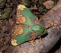 Limacodid moth; Parassa pastoralis; Indonesia, Borneo, W. Kalimantan, Bentuang-Karimun National Park