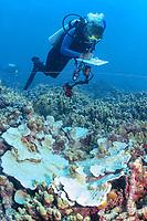 reasearcher, Greta Abey, making notes on bleached corals, Lisianski, Papahanaumokuakea Marine National Monument, Northwestern Hawaiian Islands, Hawaii, USA, Pacific Ocean