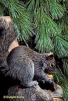 MA23-007z   Gray Squirrel - eating acorn - Sciurus carolinensis
