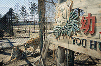 China. Province of Heilongjiang. Harbin. Siberia Tiger Park. Tigers near the fence's gate. © 2004 Didier Ruef