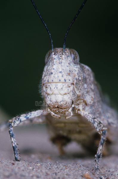 Three-banded Grasshopper, Hadrotettix trifasciatus , adult, Starr County, Rio Grande Valley, Texas, USA, May 2002
