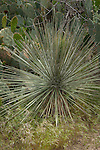 Spiny yucca plant with cactus in the background
