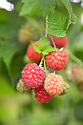 Summer-fruiting raspberry 'Octavia', early July.