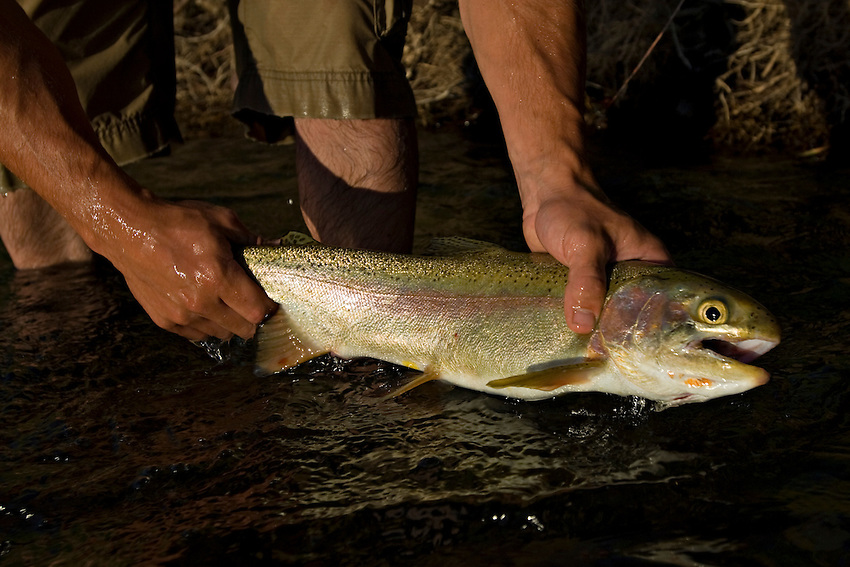 An angler poses with a large rainbow trout (Oncorhynchus mykiss) caught while fly fishing the Blackfoot River near Missoula Montana.