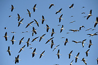 White Stork - Ciconia ciconia<br /> migrating flock