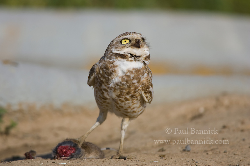 Mice, rats, and grasshoppers, seen as pests to North American farmers, are among the favorite foods of Burrowing Owls; ironically, the efforts of farmers to kill these Burrowing Owl foods, as well as the elimination of the prairie dogs and ground squirrels that create Burrowing nest holes, threaten to control their most economical pest control agent.