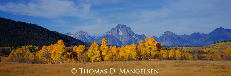 A sentinel of the famous Teton range, Mount Moran looms over islands of aspen, rich in autumn foliage in Grand Teton National Park, Wyoming.