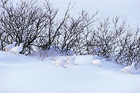 Flock of Willow ptarmigan (Lagopus lagopus) among willows.  Canadian Arctic.  Winter