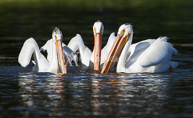 American white pelicans are a striking subject to photograph.  When foraging, they will often perform a coordinated bobbing ritual.