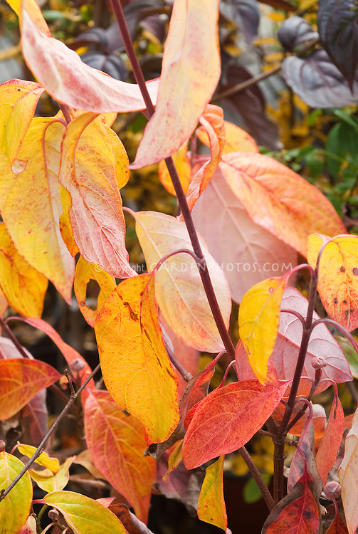 Cornus florida 'Autumn Gold' foliage dogwood in fall foliage