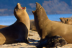 Elephant seals at Ano Nuevo S.P., CA. Frank Balthis