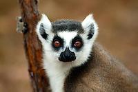 Madagascar (Lemurs)