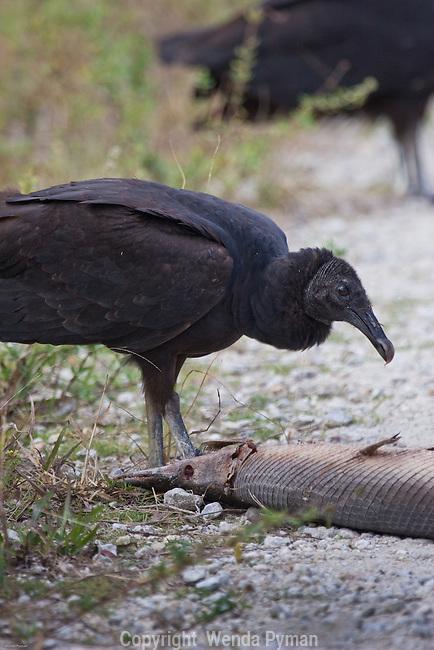 A black vulture enjoys a gar on the roadside.