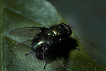 Blow fly Calliforidae
