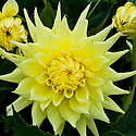Dahlia 'Susan Carey', mid August.