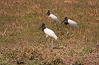Jabiru mycteria..Ciconiiforme Order - Ciconiidae Family..BIOMETRICS : .Length/Height: 122-140 cm.Wingspan: 230-260 cm.Weight: 8 kg.Length of the beak: 30-33 cm..DESCRIPTION: .The Jabiru is a large stork of the Americas, and probably the tallest flying bird of Central and South America.