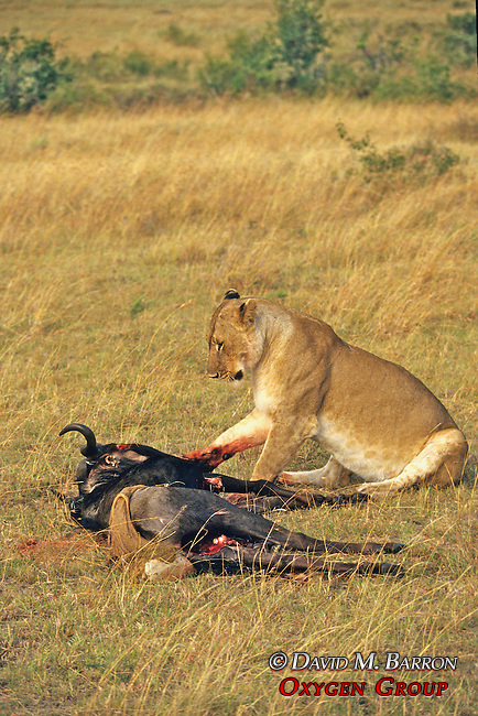 Lioness Playing With Dead Wildebeest
