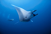 A diver is dwarfed by comparison to a Giant Manta, Manta birostris. The largest of all rays, mantas can attain a wingspan of over 20 ft. They also have the largest brain of any fish. Koh Tachai, Thailand, Andaman Sea