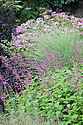 Magenta pink Salvias, grasses, and hydrangeas, Great Comp, Kent, mid August.