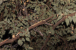 Undara Volcanic National Park, Queensland, Australia; a Spotted Python (Antaresia maculosa) climbs into the tree branches in hopes of catching a bat as it departs the cave at night to feed