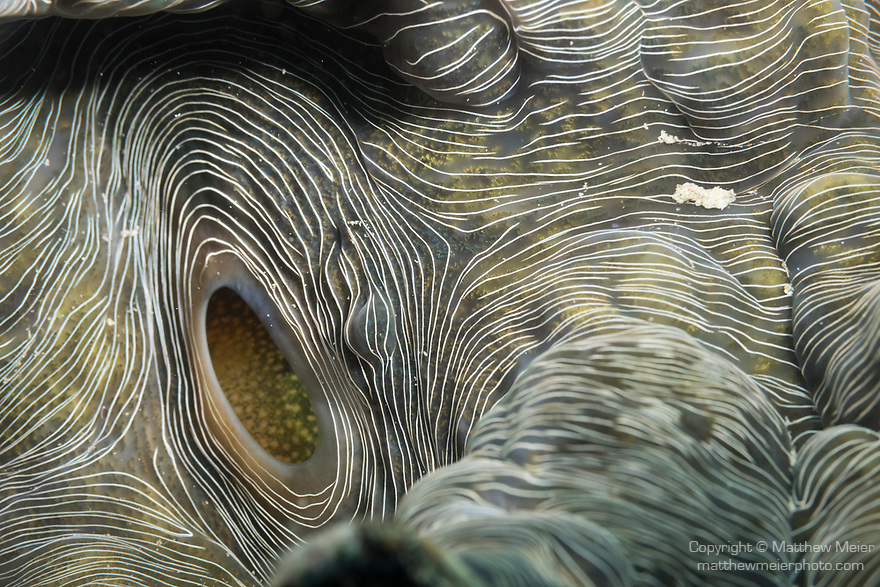 Puerto Galera, Oriental Mindoro, Philippines; a detail texture shot of the inside of a giant clam