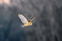 A Barn Owl hunts for food near Denver, Colorado at dusk.
