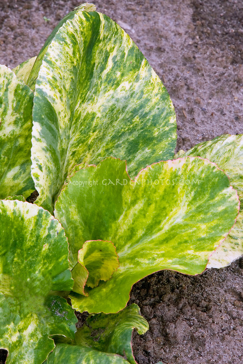 Bergenia cordifolia 'Tubby Andrews' variegated foliage leaves
