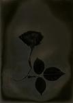 Lumen Print of Rose with Chemigram
