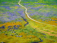 Road through wildflowers. Carrizo Plain National Monument, California