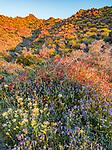 Anza-Borrego Desert State Park, CA: Brown-eyed primrose (Camissonia claviformis), chuparosa (beloperone californica), phacelia (Phacelia distans) and desert lavendar (Hyptis emoryi) flowering against hilllside of Brittlebush (Encelia farinosa) in Glorieta Canyon in early morning.