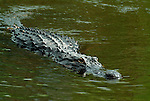 American Alligator, Alligator mississippiensis, swimming in water, Everglades National Park, predator.USA....