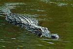 American Alligator, Alligator mississippiensis, swimming in water, Everglades National Park, predator.USA....