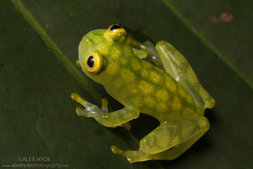 Reticulated Glass Frog {Hyalinobatrachium valerioi} Osa Peninsula, Costa Rica. May.